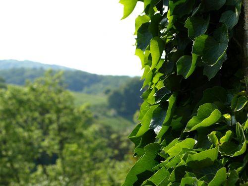 ivy efeuranke climber