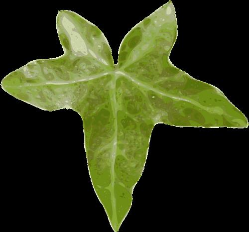ivy hedera ivy leaf