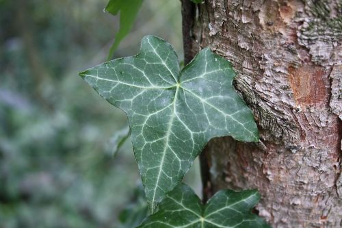 ivy nature green