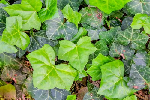ivy  plant  nature