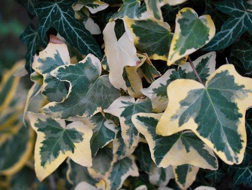 ivy  garden  green