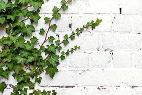 ivy  entwine  climber plant