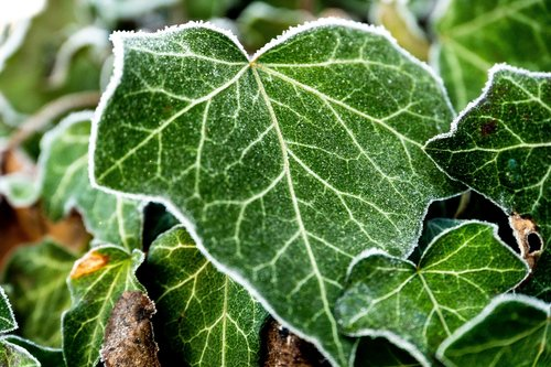 ivy  frost  nature