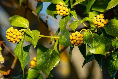 ivy  fruit  berries