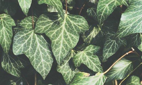 ivy  plant  garden
