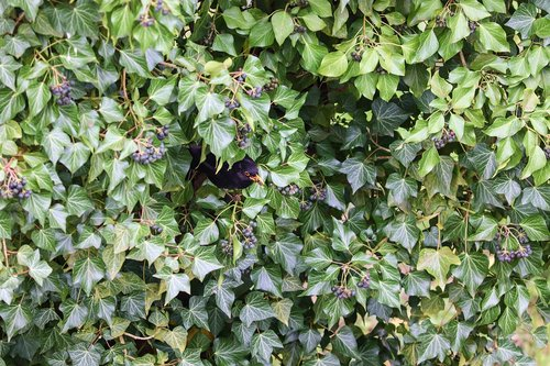 ivy  blackbird  hiding place