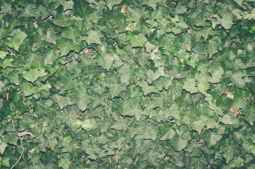 ivy  plant  climber plant