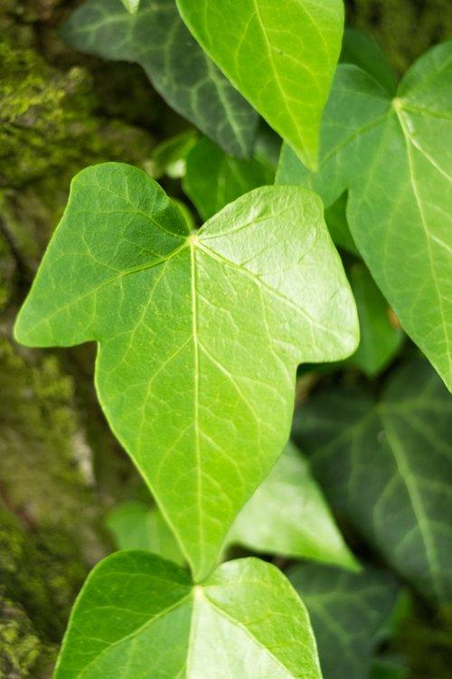 ivy  creeper  leaf