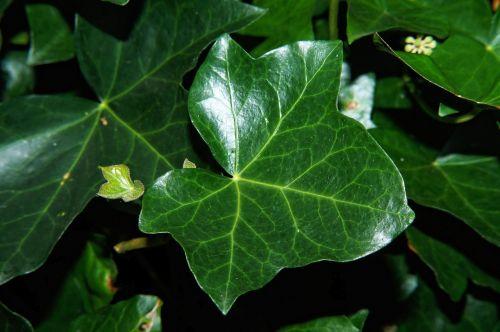 ivy ivy leaf leaf
