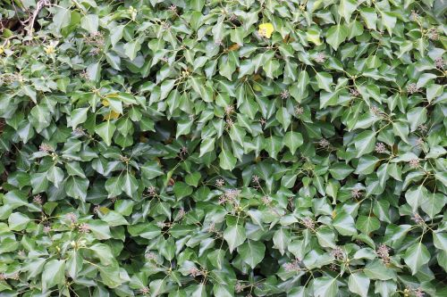 ivy green climber