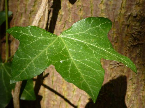 ivy leaf tree