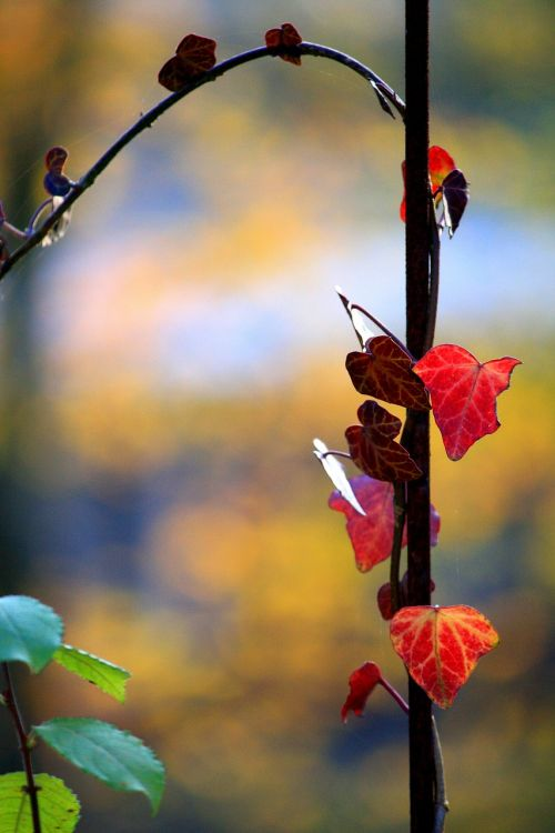 ivy entwine autumn colours