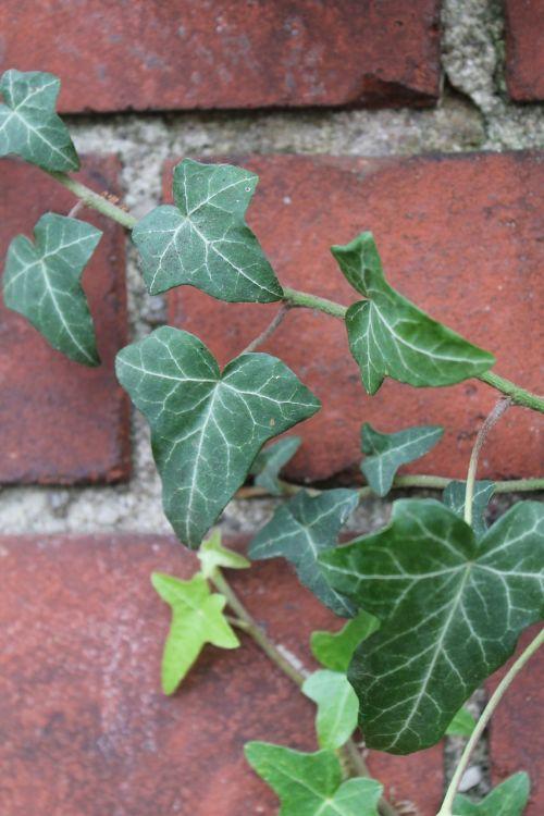 ivy klinkeris,žalias,raudona,augalas,ruduo,gamta,akmuo,išnaudoti,kiek galima,augti,augimas