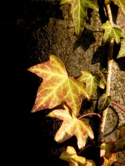 ivy climber tree