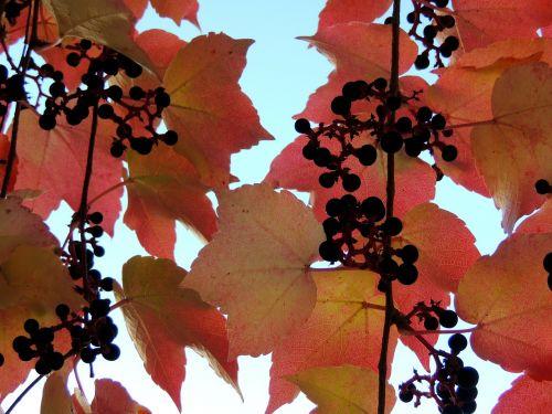ivy autumn reddish