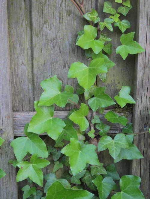 ivy wall climber