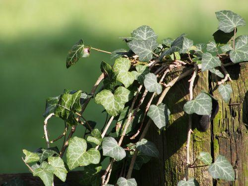 ivy plant climber