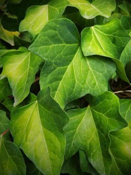 ivy leaf green