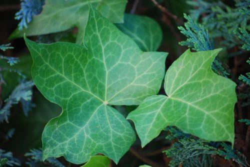 ivy garden nature