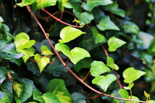 Ivy Creeper