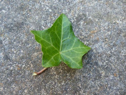 ivy leaf ivy leaf