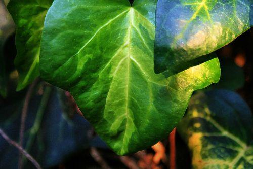 Ivy Leaf With Veins