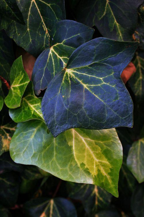 Ivy Leaves In Greens