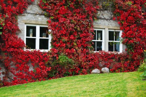 Ivy On House In Autumn