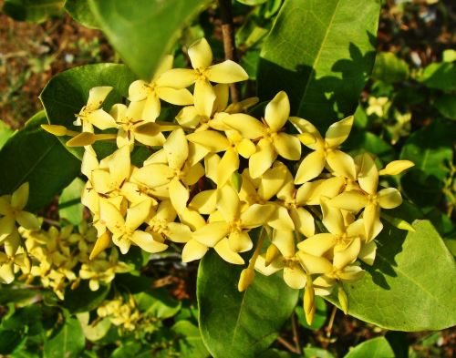 ixora yellow flower