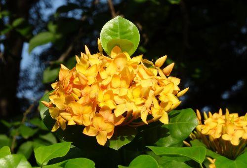 ixora flower jungle flame