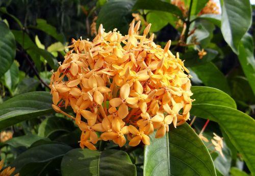 ixora flower yellow