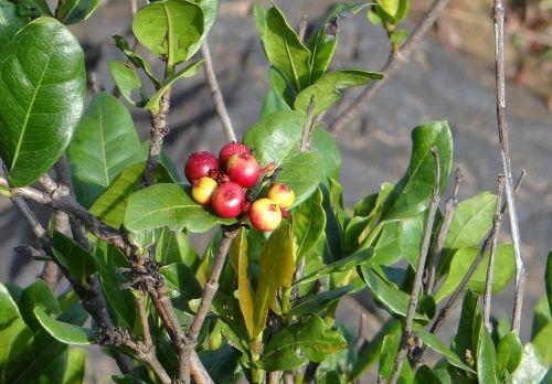 ixora coccinea wild ixora berries