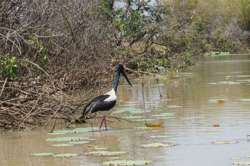 jabiru stork bird