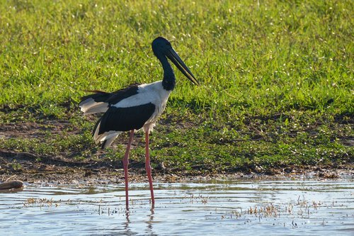 jabiru  black-necked stork  stork
