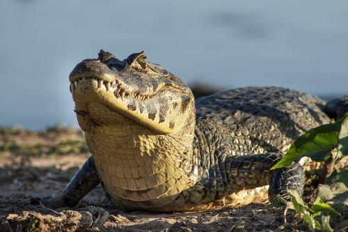 jacaré jacare pantanal
