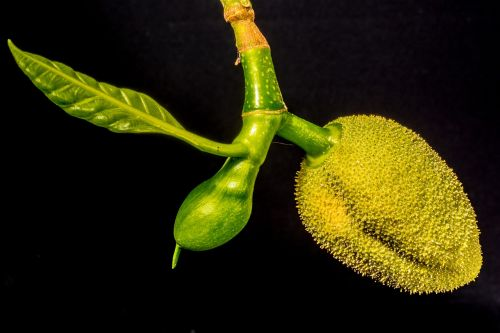jack young jackfruit jack fruit