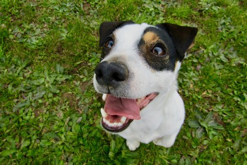 jack russel  dog  cute