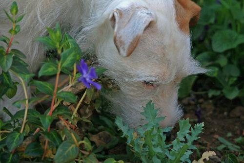 Jack Russel Sniffing Around Garden