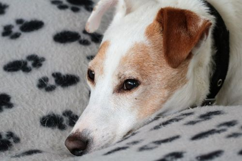jack russell dog terrier
