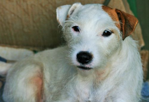 jack russell dog white