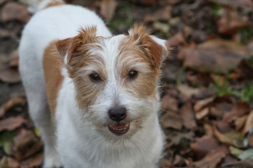 jack russell terrier jrt jack russell