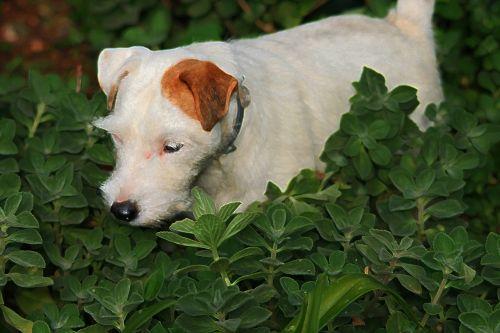 Jack Russell Terrier In The Garden