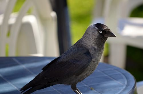 jackdaw member of the crow family bird