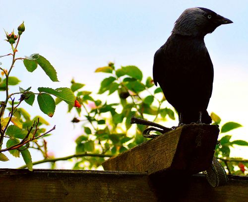 jackdaw black birds
