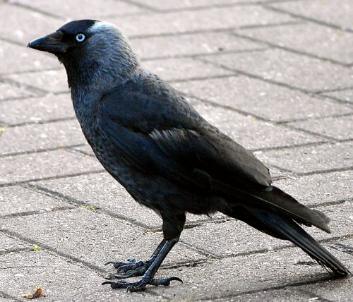 jackdaw raven bird black bird
