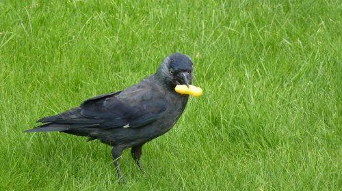 jackdaw bird songbird