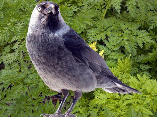 jackdaw jackdaws corvus monedula