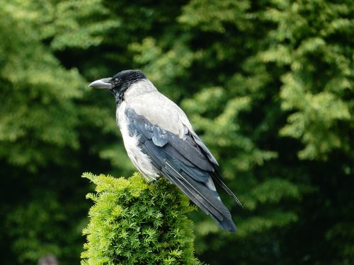 jackdaw  bird  carrion crow