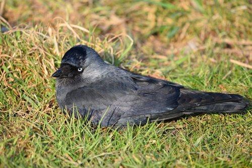 jackdaw  bird  animal