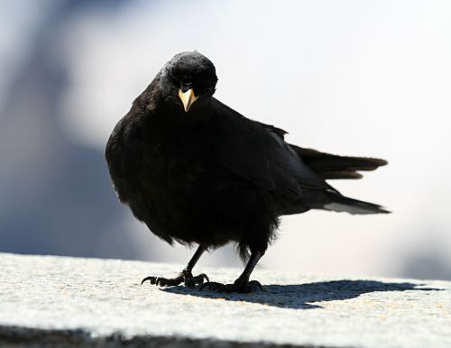 jackdaw bird black
